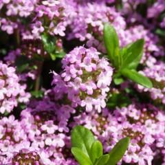手鞠のように可愛いクリーピングタイムの花