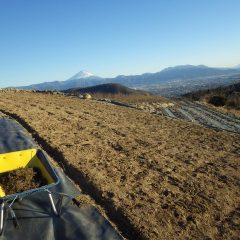 カモマイル・ジャーマン畑の除草作業も平行して行われています