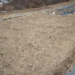 カモマイル・ジャーマン畑の除草作業続き