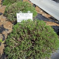事務局前の刈り込んだラベンダーには新芽が一斉に伸び始めました