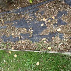 木の下にはアーモンドの実があちこちに落ちています