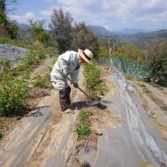今日も炎天下でローズ畑の除草作業が続いています