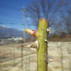 ローズの芽は日毎に伸びています