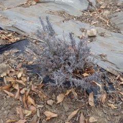 秋に伸びた枝がそのままになっています