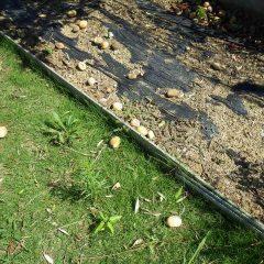 今朝も沢山のアーモンドの実が落ちていました