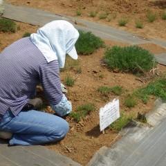こちらではカモマイル・ローマンの除草作業中
