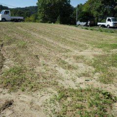 カモマイル・ジャーマン畑は3週間ちょっとで雑草だらけ