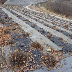 雨が降り出さないことを願いながらこのラベンダー畑半分の剪定が終了しました