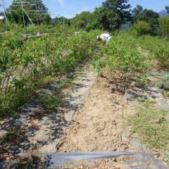 今日も炎天下の中、ローズ畑の除草作業が行われています