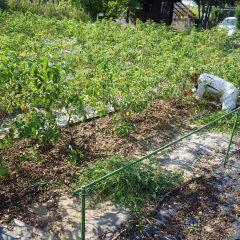 畑に這いつくばって汗だくになりながら黙々と作業を続けます