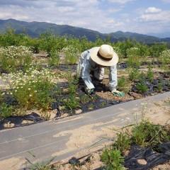 ローズの除草作業が一段落したらカモマイル・ジャーマン仕上げの除草作業に追われています