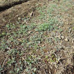 新芽が出始めたヨモギ畑