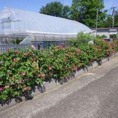 事務局フェンスのつるバラが咲き始めました