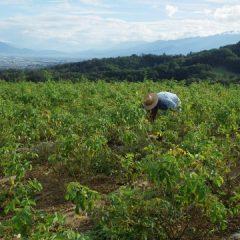 ローズ畑の除草作業は今日も続いています