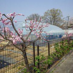 つるバラの若葉とアーモンドの花のコラボレイション