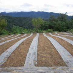 種蒔きが終わったカモマイル・ジャーマン畑