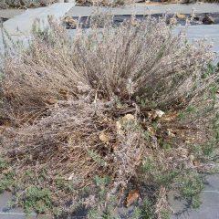 伸びた枝が積雪で押し潰されて倒伏し、枯れてしまった枝もあります