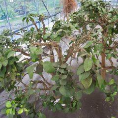 病虫害が起こりにくい様に枝を切って風通しを良くしました