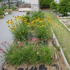 事務局前ではエキナセアが咲いています