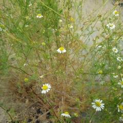 二番花の小さな蕾が沢山出来ています