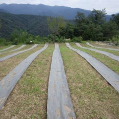 カモマイル・ジャーマン畑