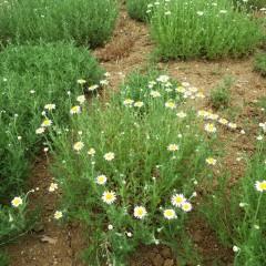 カモマイル・ジャーマンに比べると2周り程大きな花です