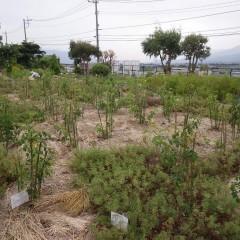 花柄を取り終わったローズ畑