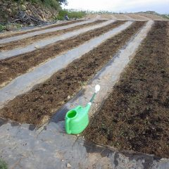 発芽していたので畑を耕さず新しい種を追い蒔きしました