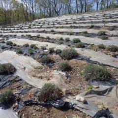 新芽が順調に伸びているラベンダー畑