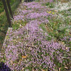 クリーピングタイムが一斉に咲き始めピンクの絨毯を敷いたようです