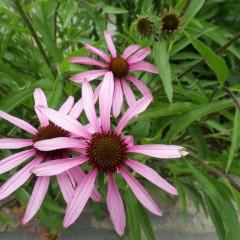 エキナセア・アングスティフォリアの花が咲き始めました
