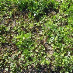 どれがヨモギか分からないほどの雑草が茂っています
