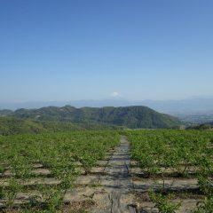 農場のローズ畑は緑の葉で覆われています