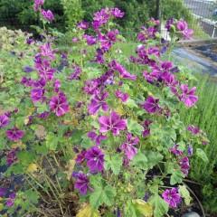 コモン・マロウの花も咲き誇っています