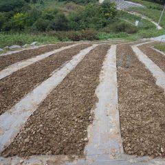10月3日に播種したカモマイル・ジャーマン畑