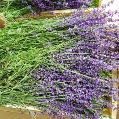 花穂の長い「丘紫」(オカムラサキ):通称「遅咲き4号」