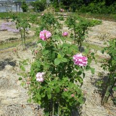 例年はGW明けに開花し始めていたので一週間ほど早い開花です