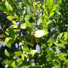 マートルの実が熟して紫黒色になりました