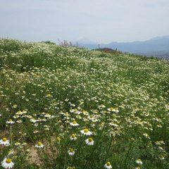 畑一面に花が咲き始めました