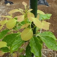 ホーウッドの新芽は雨を恵に変えて育っています