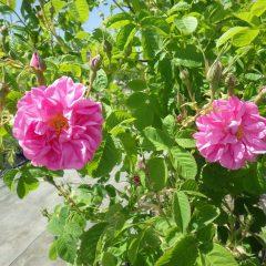 ポツリポツリと咲き始めています