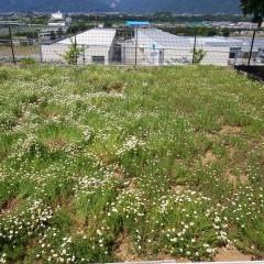 カモマイル・ローマンも咲きそろいました