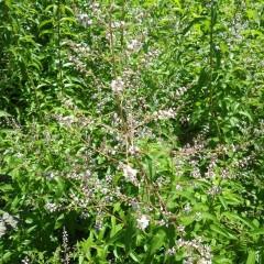 レモンバーベナの白いレースのような花