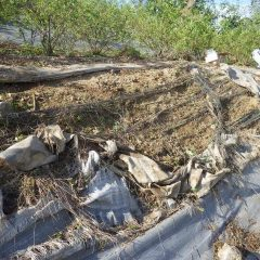 ローズ畑にある斜面の防草シートが劣化して破けてしまっています