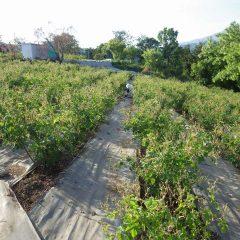 ローズ畑の中では除草作業が続いています