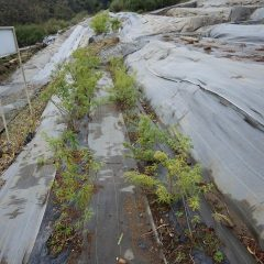 レモンバーベナも収獲した後から伸びた葉がまだ残っています