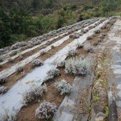 ラベンダー畑はひっそりとしています