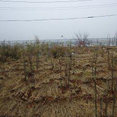 霧に包まれた事務局前のローズ畑からは何も見えません
