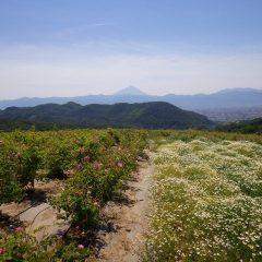 薔薇とカモマイルと富士山の三位一体