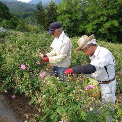 この花を摘み取って今日の収穫作業終了